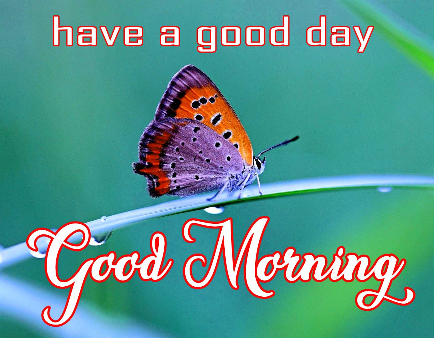 Butterfly Good Morning Pics