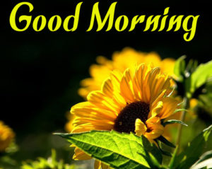 Sunflower Good Morning Pics HD Download for Whatsappx