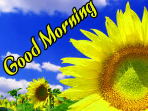 Sunflower Good Morning Photo Download