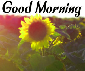 Sunflower Good Morning Photo for Facebook Download