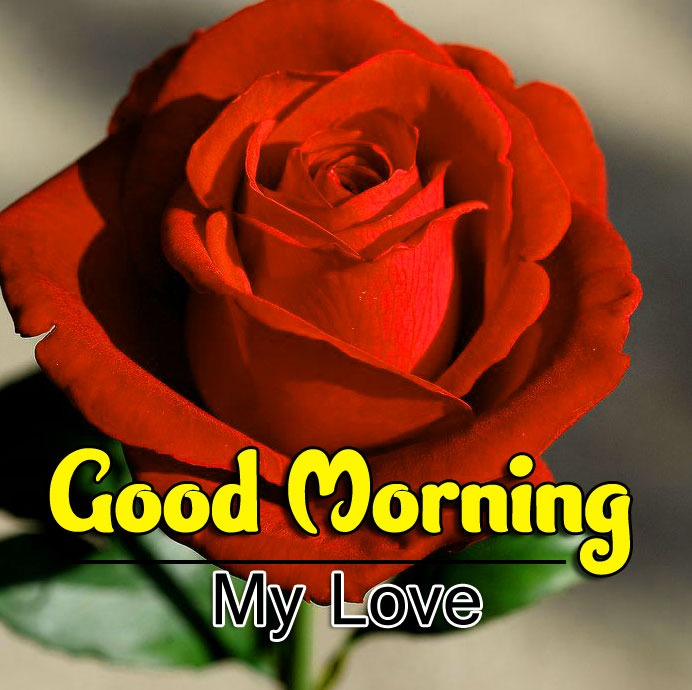 Red Rose Free Good Morning Images Pics Download