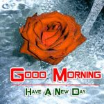 latest rose Good Morning Images pictures free download