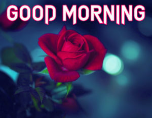 Rose Good Morning Images wallpaper photo h
