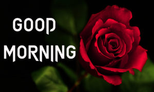 Rose Good Morning Images wallpaper photo free hd download