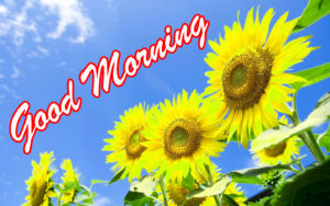 Sunflower Good Morning Images photo wallpaper download