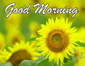 Sunflower Good Morning Images pictures photo hd